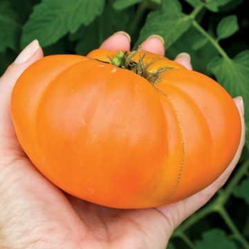 Hạt giống Kellogg's Breakfast Organic Tomato Seeds