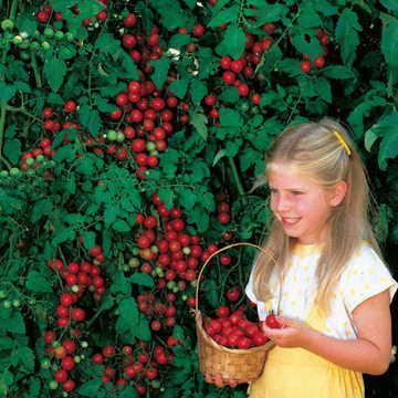 Hạt giống Sweet Million Hybrid Tomato Seeds