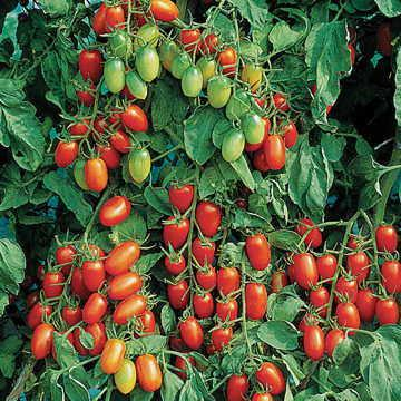 Hạt giống Juliet Tomato Seeds