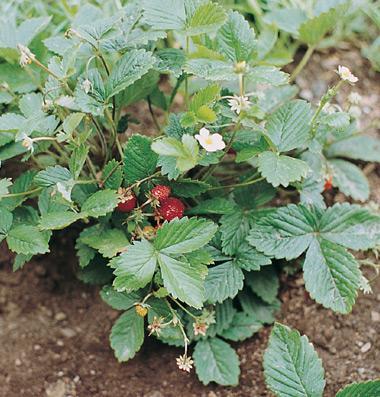 Hạt giống dâu tây Alexandria Strawberry Seed