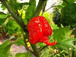 Carolina Reaper Pepper HP22B Worlds Hottest Chile Pepper 2013 Guiness World Record Averages 1,569,300 Scoville Heat Units (Capsicum Chinense) Approx 10 Seeds